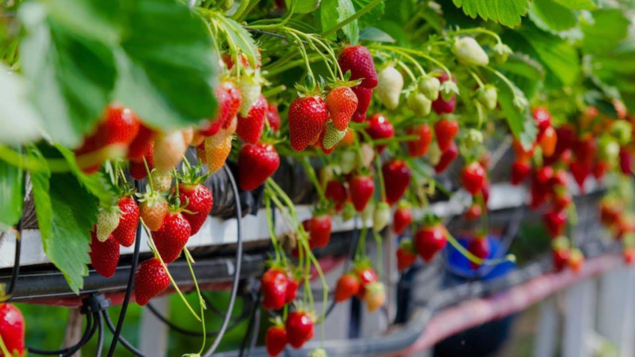 Промышленные теплицы для ягод