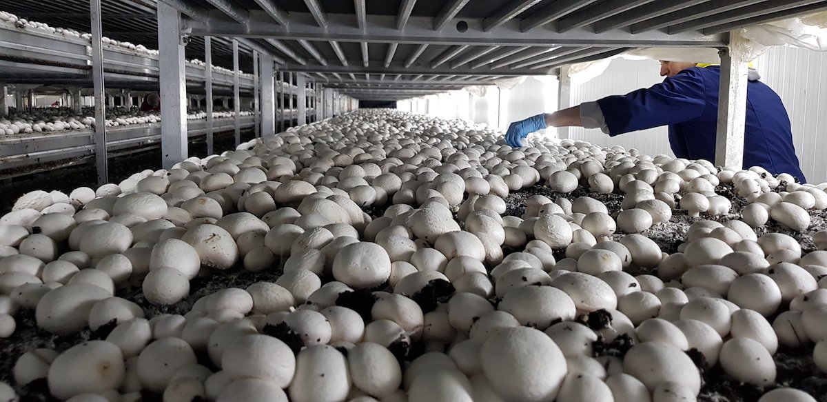 Промышленные  теплицы для грибов