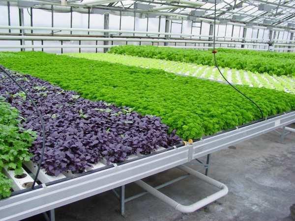Промышленные теплицы для зелени